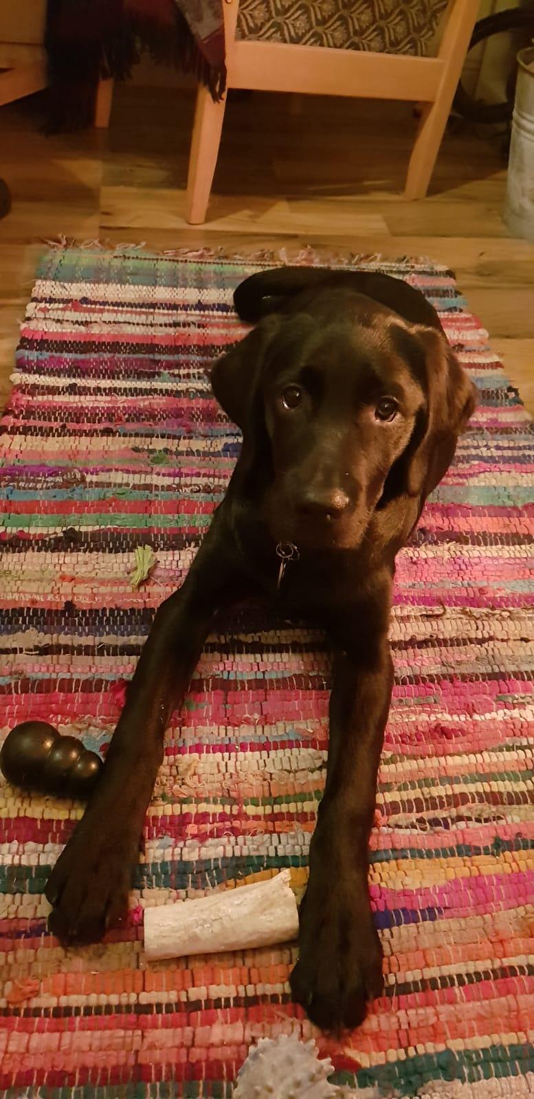 Izzy - Guide Dog for the Blind, Connemara