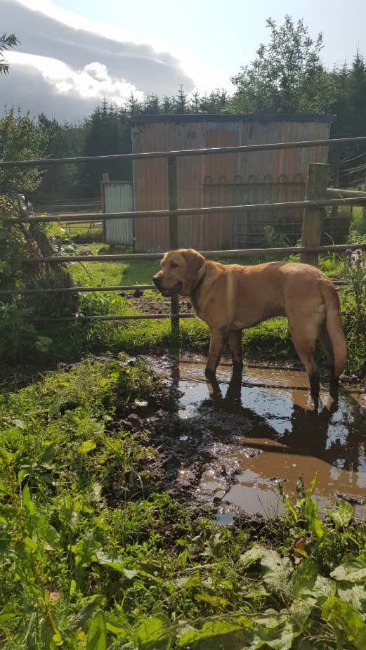 Hank in August on allotment standing in mud