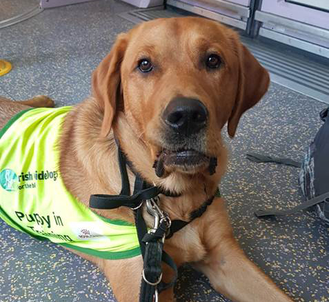 Hank - Guide Dog for the Blind - on the luas