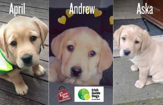Guide Dogs for the Blind - puppies: April, Andrew & Aska